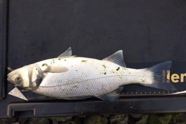 Jacky, vissen op tong, aan de Waterweg